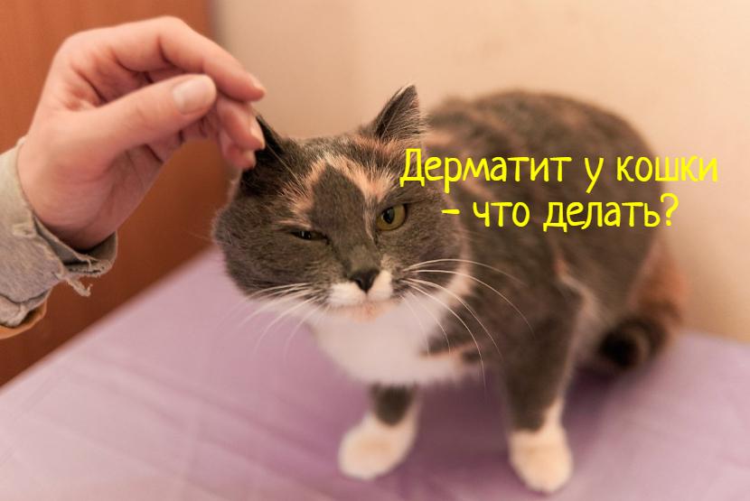 Что делать, если у кошки дерматит?