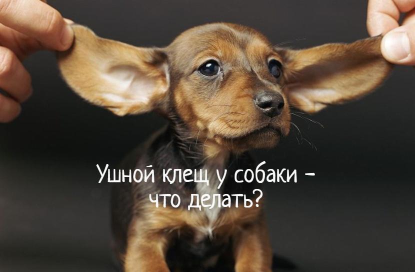 Ушной клещ у собаки – что делать?