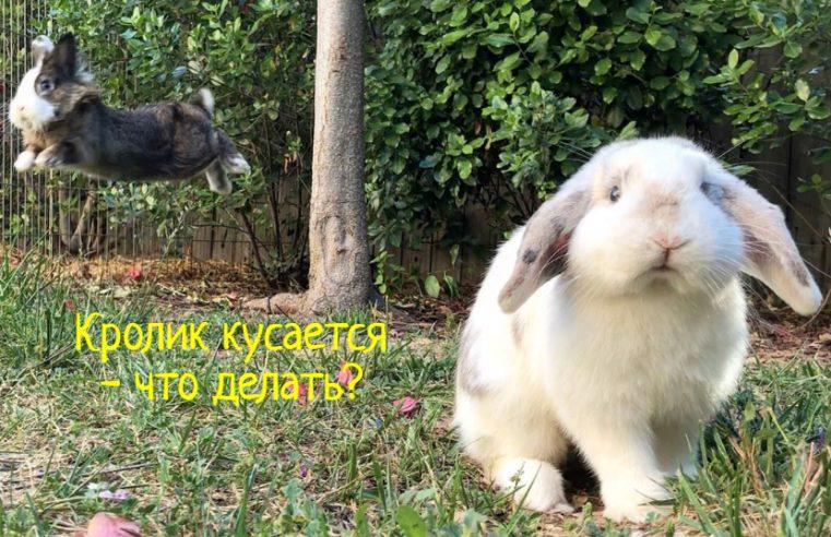 Что делать, если кролик кусается?