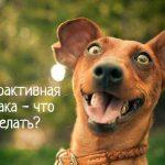 Собака гиперактивная – что делать?