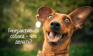 Собака гиперактивная