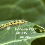 Что делать, если на капусте появились гусеницы?