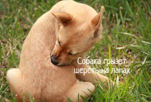 Собака грызет шерсть