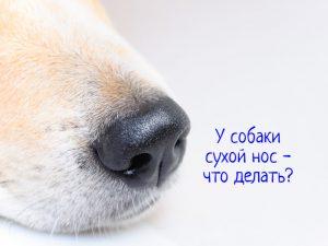 У собаки сухой нос
