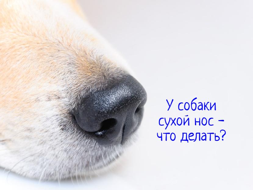 У собаки сухой нос – причины, что делать?