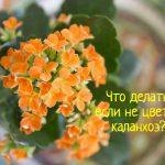 Почему не цветет каланхоэ – что делать?