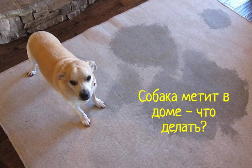 Собака метит в квартире – что делать?