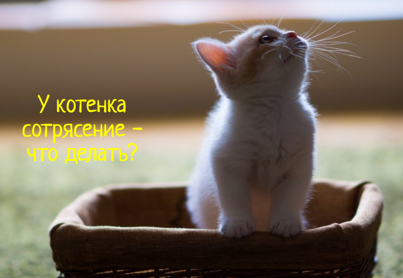 Что делать, если у котенка сотрясение?