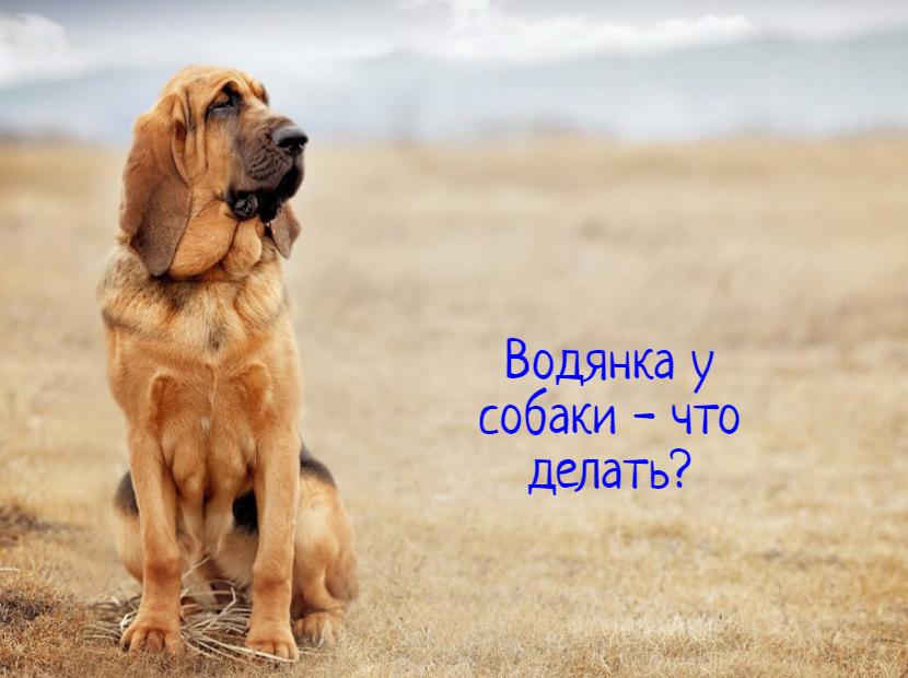 Водянка у собаки – что делать?