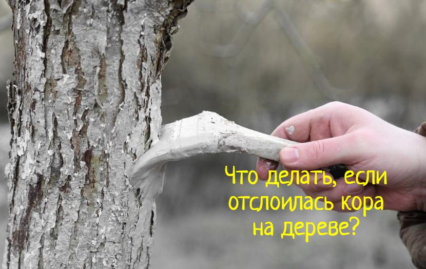Отслоилась кора на дереве — что делать?