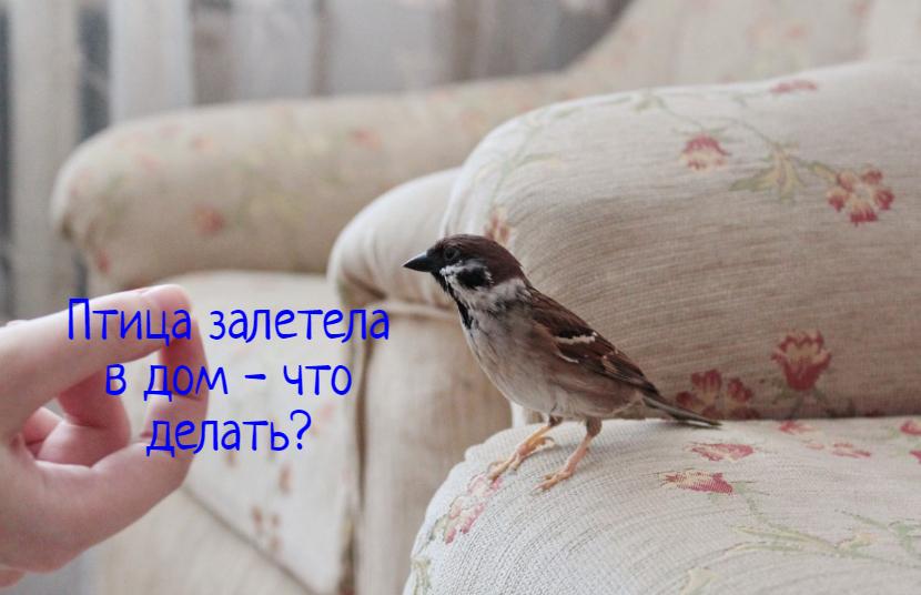 В дом залетела птица – что делать?