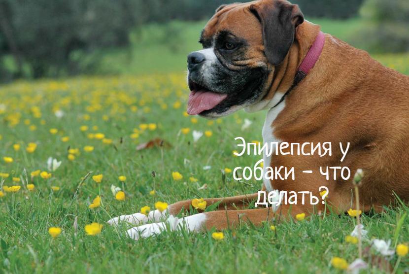 Эпилепсия у собаки — что делать?