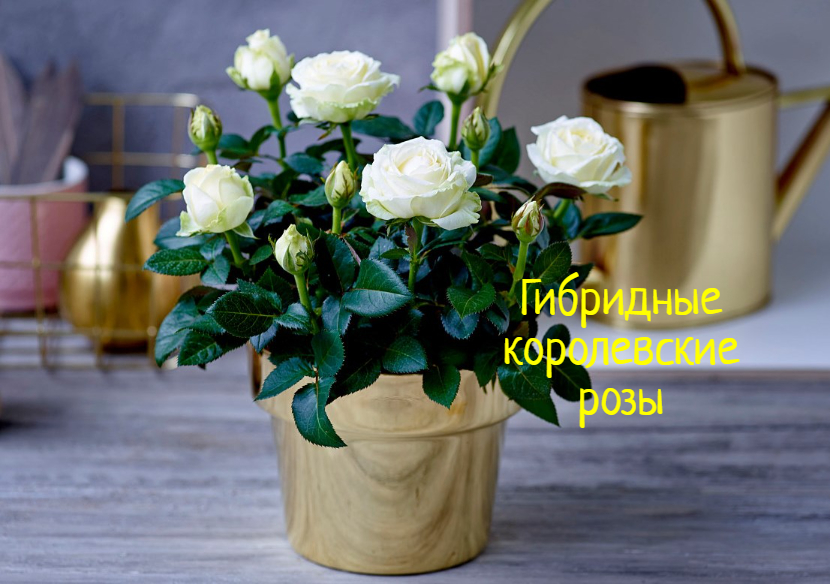 Гибридные королевские розы – как вырастить цветы на подоконнике