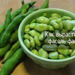 Как выращивать фасоль (бобы фава): 8 полезных советов
