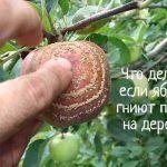 Что делать, если гниют яблоки на дереве?