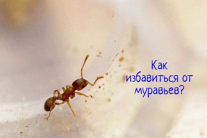 Как избавиться от муравьев — что делать?