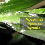 Как избавиться от мучнистого червеца на орхидеях - что делать?