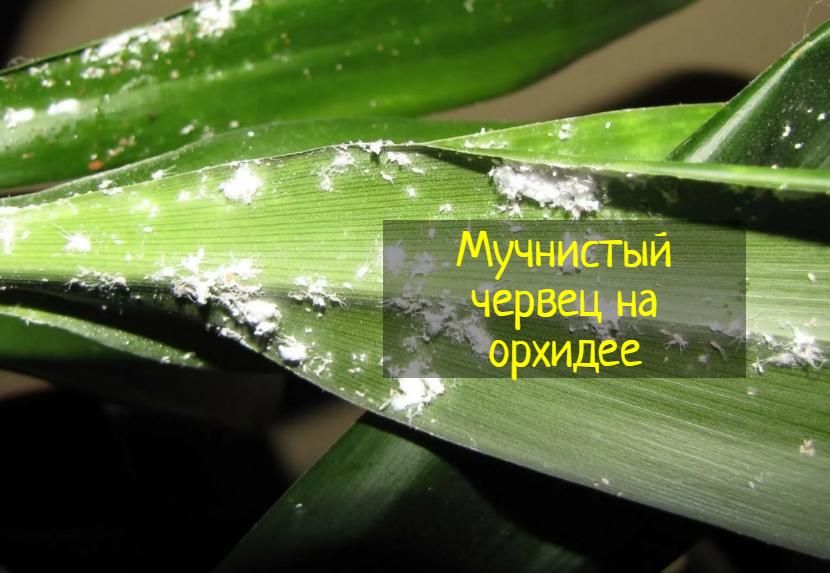 Как избавиться от мучнистого червеца на орхидеях — что делать?