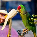 Что едят попугаи - правильное кормление