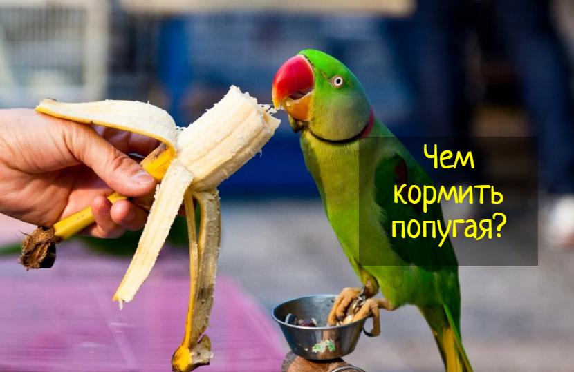 Что едят попугаи — правильное кормление