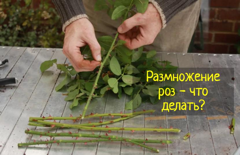 Как лучше всего размножить розы за 8 шагов