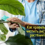 Как правильно чистить листья комнатных растений - что делать?