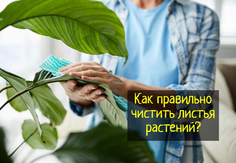 Как правильно чистить листья комнатных растений — что делать?