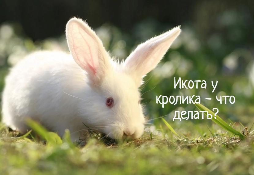 Что вызывает икоту у кроликов?