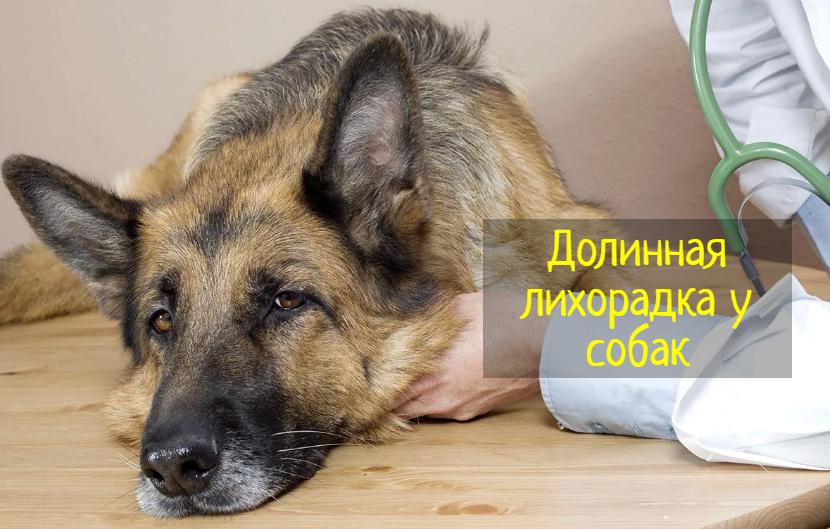 Все признаки долинной лихорадки у собак — что делать?