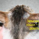 Залысины у кошки - причины и что делать?