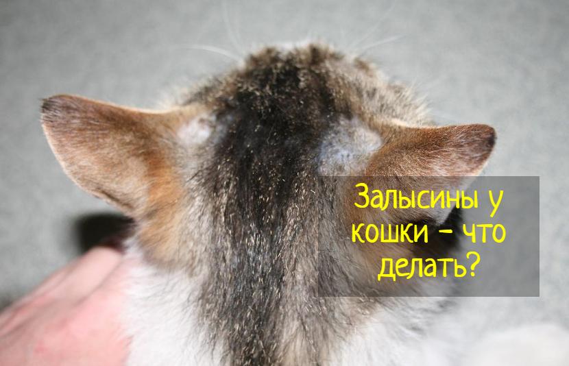 Залысины у кошки — причины и что делать?